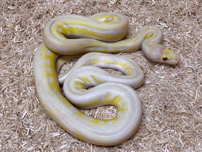 Picture of Jay's Pick Male Ultra Lavender Albino Reticulated Python